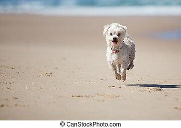 mignon, chien, sauter, petit, plage, sablonneux