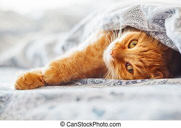 mignon, confortable, blanket., chouchou, pelucheux, pet., lit, chat, rigolote, confortablement, gingembre, fond, sous, maison, sleep., réglé, mensonge
