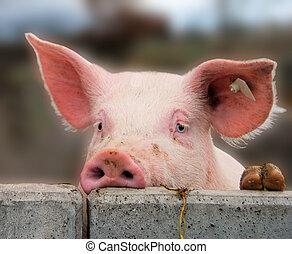 mignon, jeune, cochon