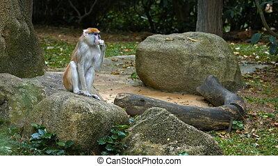 mignon, patas singe, zoo., rocher