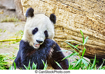 mignon, sprout., mâcher, ours, activement, vert, bambou, panda