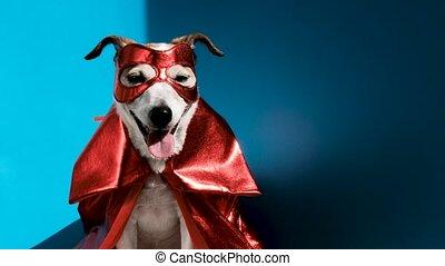 mignon, superhero, studio, déguisement, chien