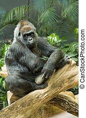 mis danger, gorille plaine ouest