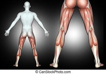 mis valeur, 3d, dos, jambe, mâle, muscles, figure, monde médical
