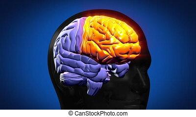 mis valeur, cerveau, parties