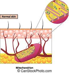 mitochondrion, plan