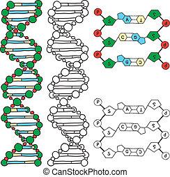 modèle adn, -, hélix, molécule