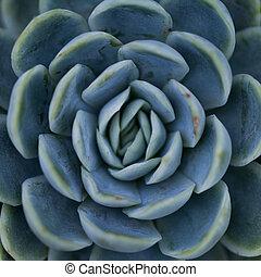 modèle, succulent, /, symétrique, nature, plante