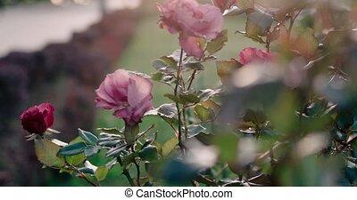 modifié tonalité, mort, métrage, automne, roses, park.