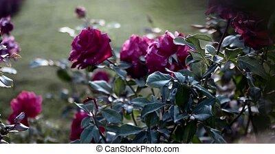 modifié tonalité, mort, métrage, automne, roses, park., rosier