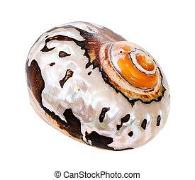 mollusque, blanc, coquille, nautile, isolé