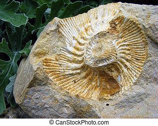 mollusque, fossile