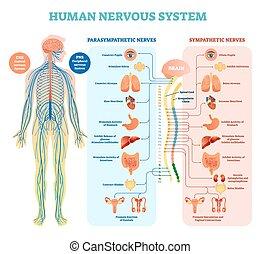 monde médical, vecteur, humain, système, parasympathique, intérieur, tout, nerveux, nerfs, organs., connecté, illustration, compatissant, diagramme