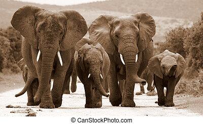 monochrome, troupeau, éléphants
