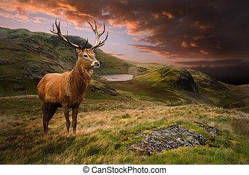 montagne, cerf, cerf, dramatique, coucher soleil, rouges, paysage, morose