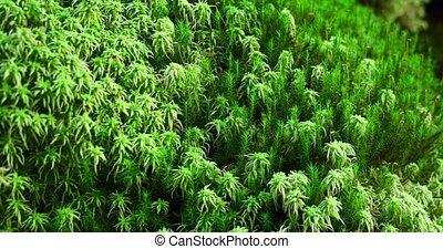 moss), forêt, sphagnum, (peat