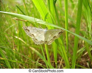 moth, frontière, dentelle