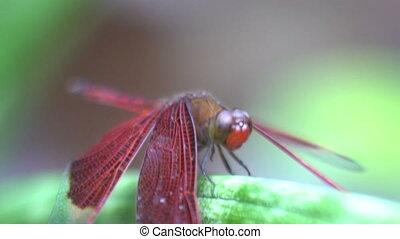 mouche, coup, bali, indonésie, haut, macro, dragon, exotique, insecte, fin, rouges, mouvement