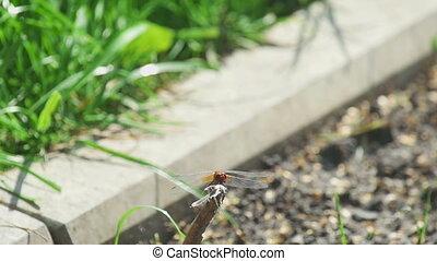 mouche, libellule, manger, rouges