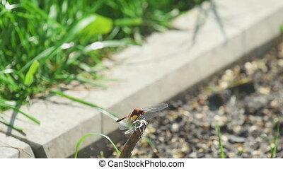 mouche, libellule, prises, rouges