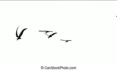 mouche, migrateur, troupeau, oiseaux, sur