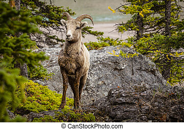 mouton, banff, grand, parc national, cornu