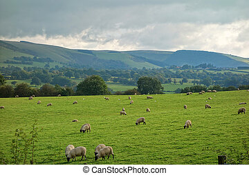 mouton, campagne, champs, collines, grazing., galles