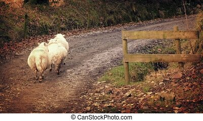 mouton, marche, groupe, terre, haut, route