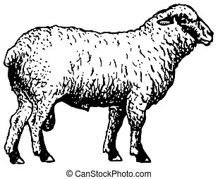 mouton, shropshire