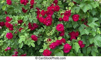 mouvement, rouges, sauvage, vent, 4k, roses, jardin, vidéo