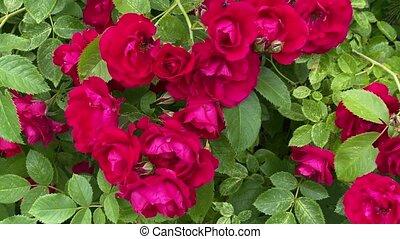 mouvement, rouges, sauvage, vent, roses, jardin
