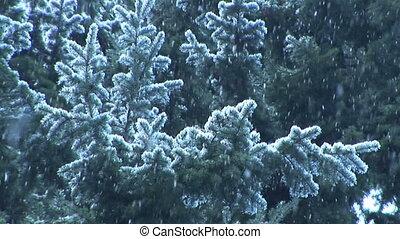 mouvement, tomber, lent, neige, plantes à feuilles persistantes