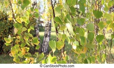 mouvementde va-et-vient, feuilles automne, bouleau, ensoleillé, vent, jour, yellowed
