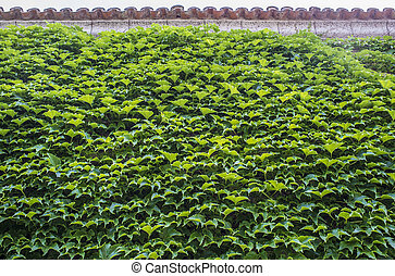 mur, feuilles, vert, couvert, totalement, lierre