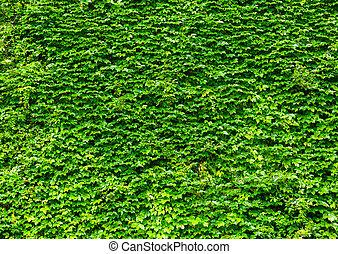 mur, feuilles, vert, lierre
