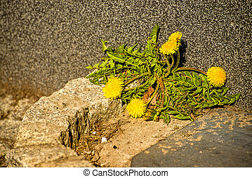 mur, fleur, vieux, pissenlit
