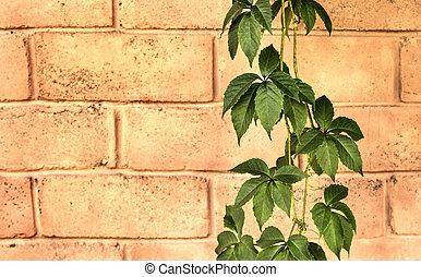 mur, lierre, brique