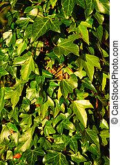 mur pierre, feuilles, arrière-plan vert, couvert, lierre