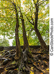 mur pierre, projection, arbres, grand, racines
