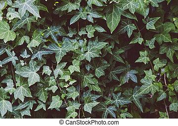 mur, vert, lierre, fond, leaves-covered