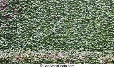 mur, vert