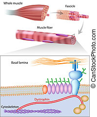 muscle, eps10, fibre, dystrophin