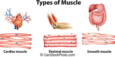 muscle, types