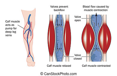 muscle veau, pompe