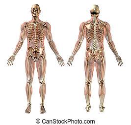 muscles, mâle, squelette, semi-transparent