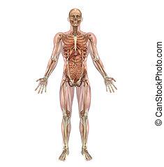 muscles, organes, squelette, interne, mâle