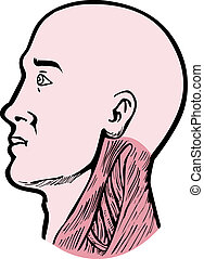 muscles principaux, projection, cou humain