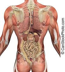 muscles, torse, -, dos, mâle, organes, vue