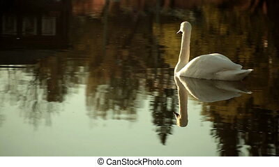 nage, lac cygne