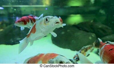 nager, aquarium., poisson rouge, haut fin